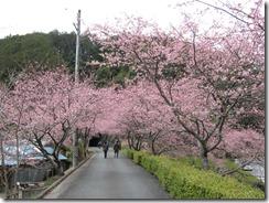 280306河津桜