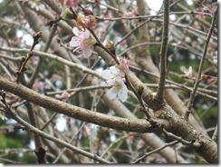 1126四季桜2