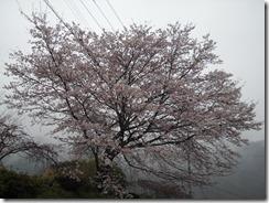 0401下川保育園桜