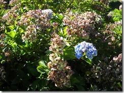 1003秋紫陽花