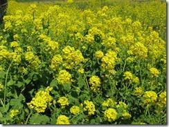 0328菜の花