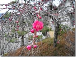 0401枝垂れ花桃
