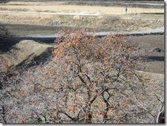 290111中設楽の渋柿