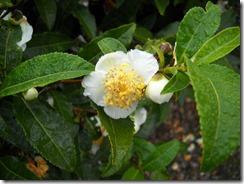 1020茶の花