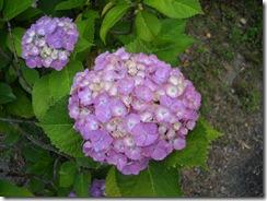 0625紫陽花