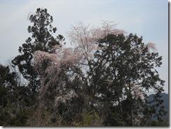 280331雄歩道桜