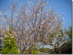 1018四季桜